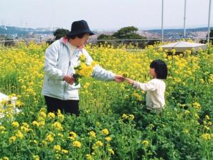 菜の花摘み 1