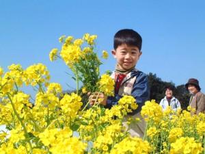 菜の花摘み 3